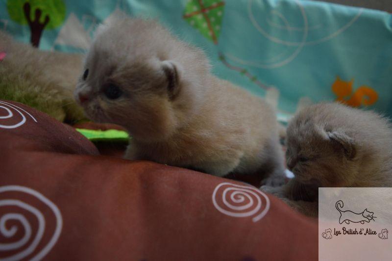 Les british d alice les chatons 05