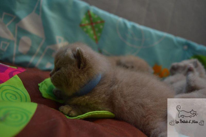 Les british d alice les chatons 06