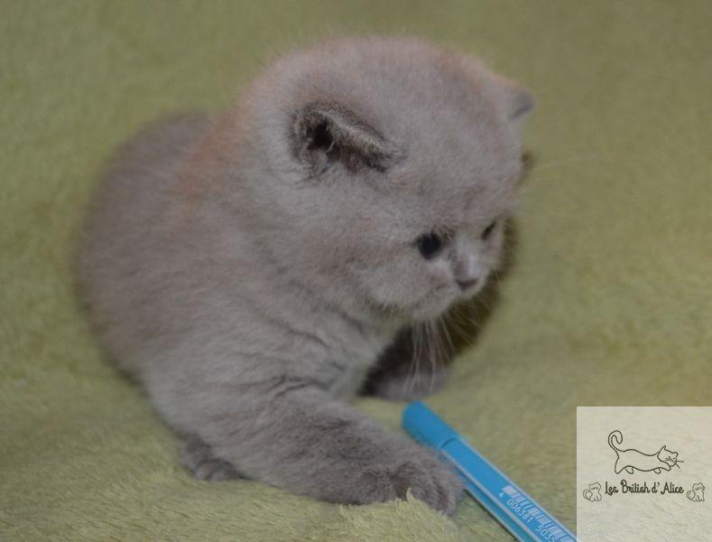 Les british d alice les chatons 08