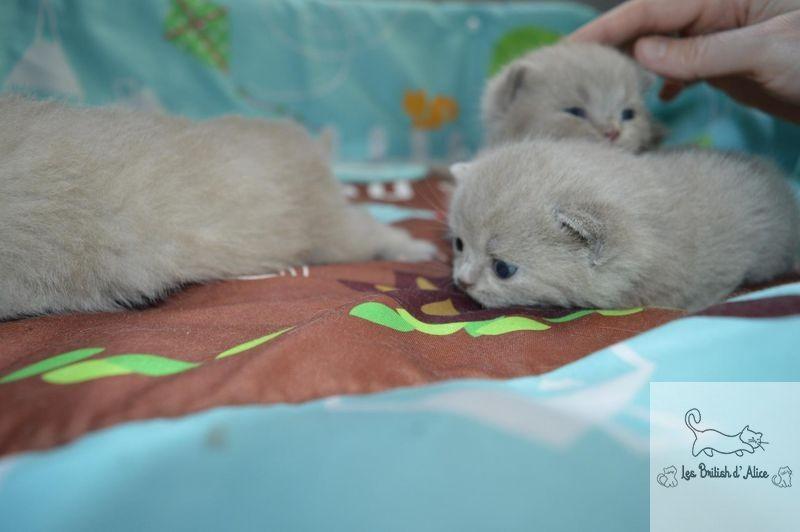 Les british d alice les chatons 09