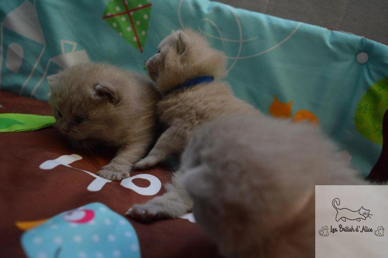 Les british d alice les chatons 10