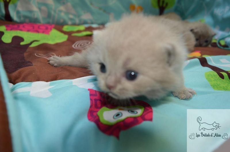Les british d alice les chatons 11