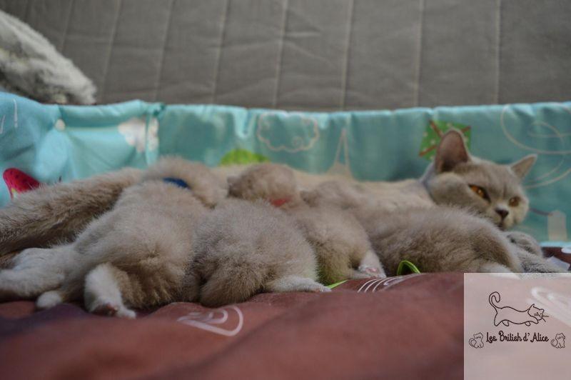 Les british d alice les chatons 12