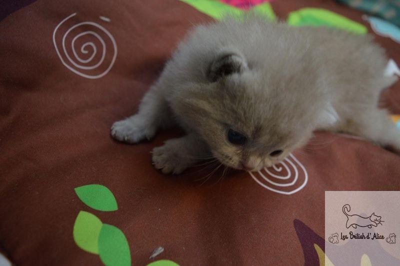 Les british d alice les chatons 13