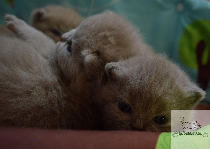 Les british d alice les chatons 14