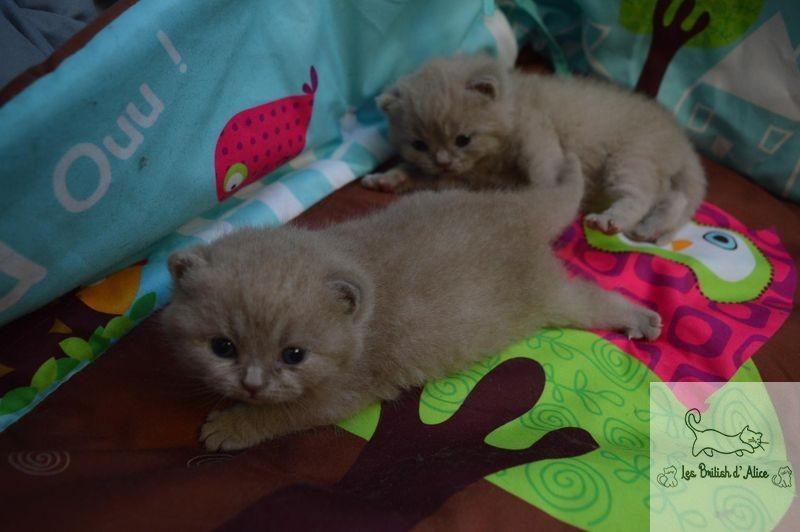 Les british d alice les chatons 20