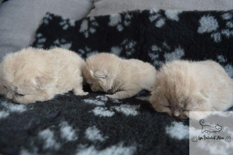 Les british d alice les chatons 23