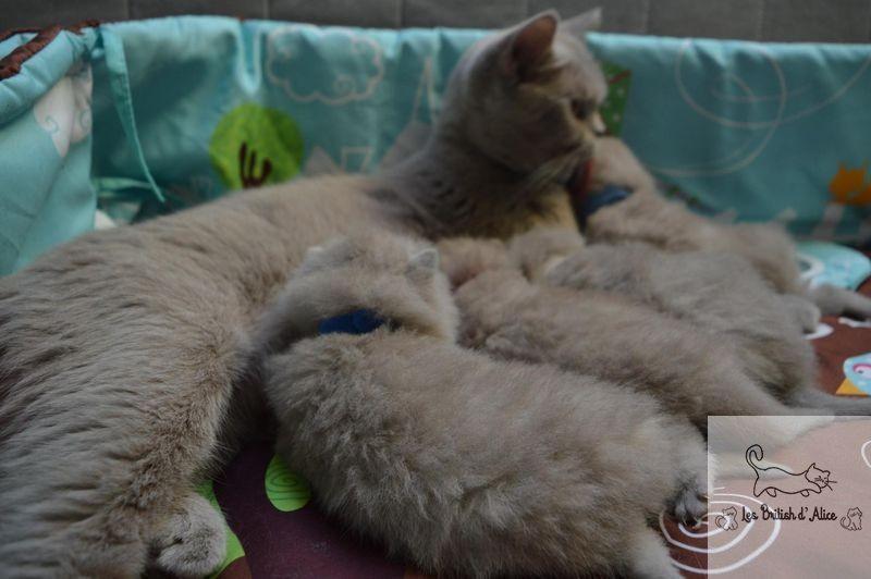 Les british d alice les chatons 25