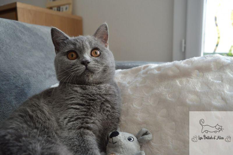 Les british d alice les chatons 27