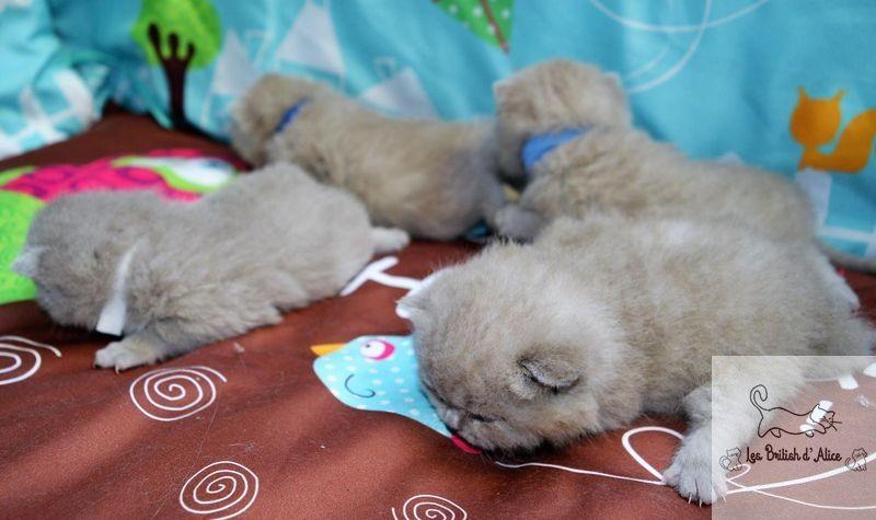 Les british d alice les chatons 29
