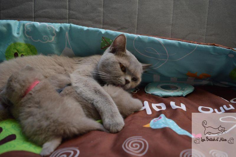 Les british d alice les chatons 30