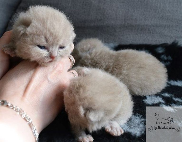 Les british d alice les chatons 31