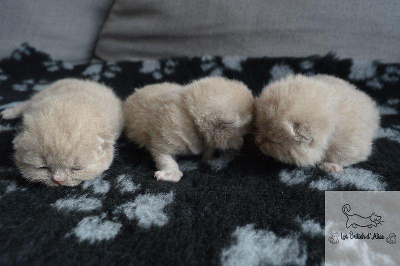Les british d alice les chatons 33