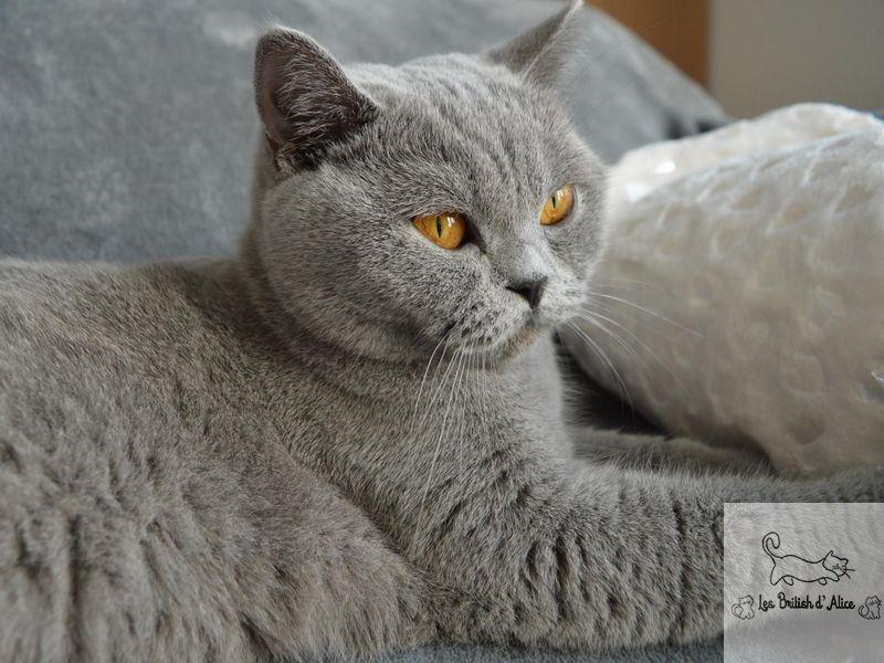 Philaé Femelle British Shorthair