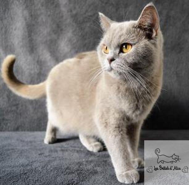 Olympe Femelle British Shorthair